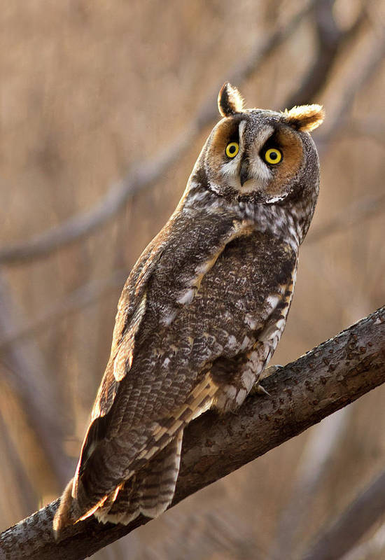 Animal Art Print featuring the photograph Long-eared Owl by Mircea Costina Photography
