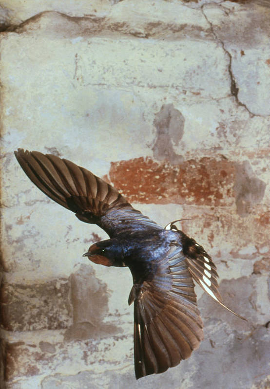 Swallow Art Print featuring the photograph Swallow In Flight by Andy Harmer