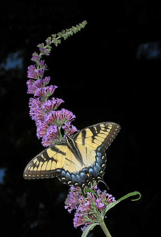 Butterfly Art Print featuring the photograph Yellow Swallowtail by Steve Zimic