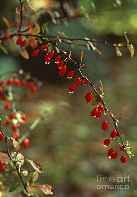 Pennsylvania Art Print featuring the photograph American Barberry With Raindrops by Anna Lisa Yoder