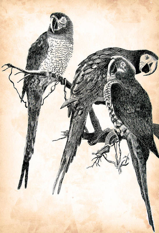 Pen Art Print featuring the drawing Birds Of A Feather by Robbi Musser