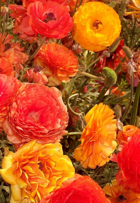 Ranunculus Art Print featuring the photograph Bright And Sunny by Jean Booth