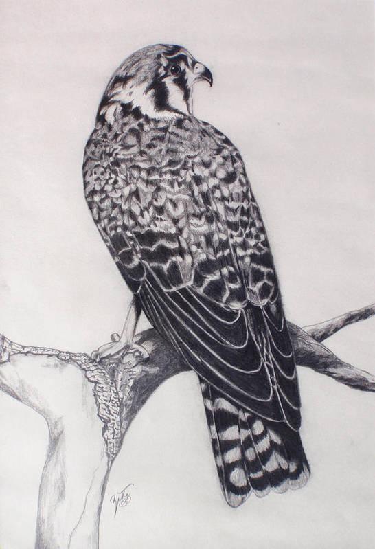 Hawk Art Print featuring the drawing Desert Hawk II by Suzette Kallen