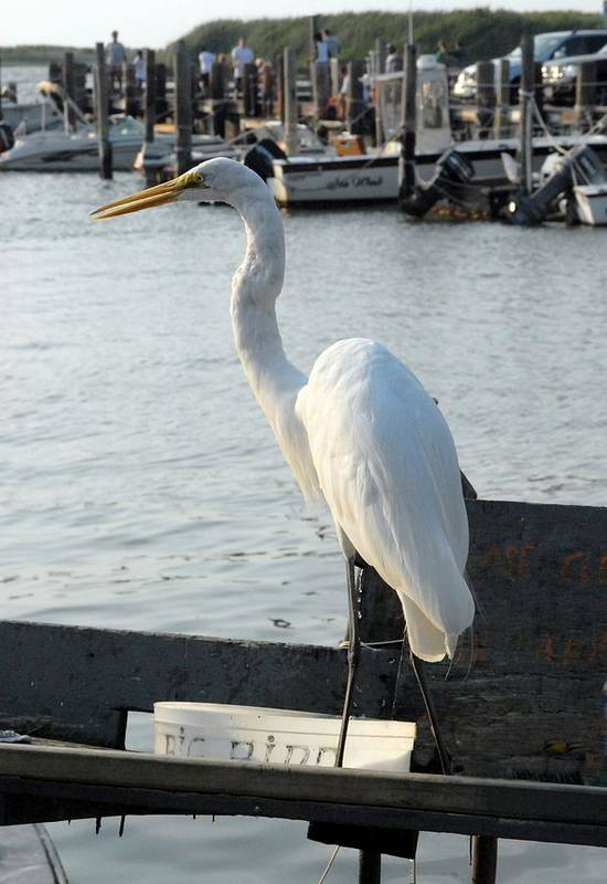 Great Egret Art Print featuring the photograph Great Egret 25 by Joyce StJames