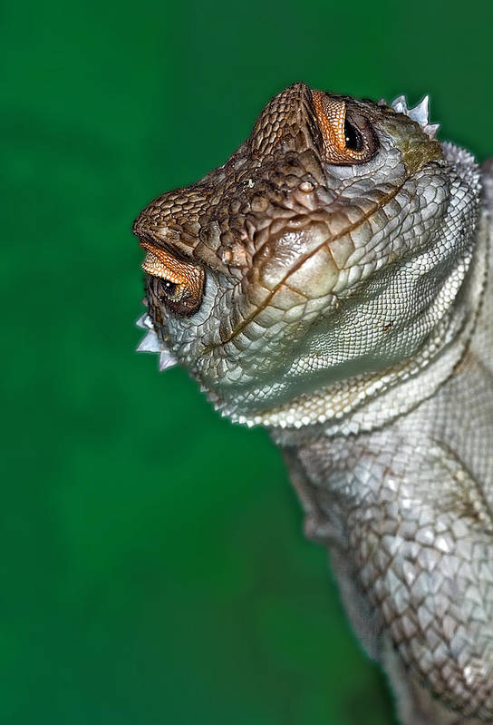 Vertical Print featuring the photograph Look Reptile, Lizard Interested By Camera by Pere Soler