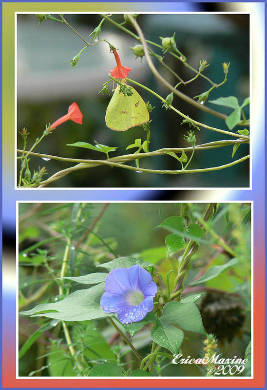 Flower Art Print featuring the photograph Morning Glories And Butterfly by Ericamaxine Price