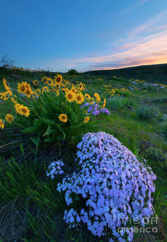 Phlox Art Print featuring the photograph Pink And Yellow Sunset by Mike Dawson