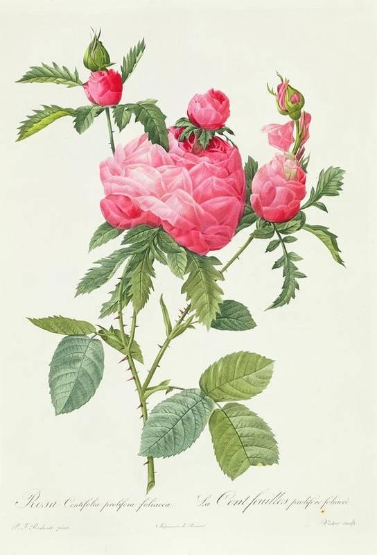 Rosa Art Print featuring the drawing Rosa Centifolia Prolifera Foliacea by Pierre Joseph Redoute