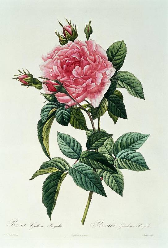 Rosa Print featuring the drawing Rosa Gallica Regalis by Pierre Joseph Redoute