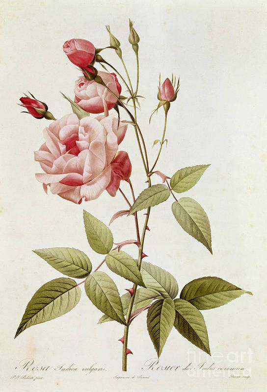 Rosa Art Print featuring the painting Rosa Indica Vulgaris by Pierre Joseph Redoute