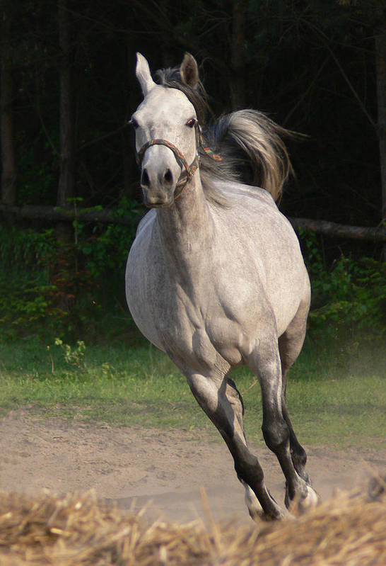 Animal Art Print featuring the photograph Running Horse by Jaroslaw Grudzinski
