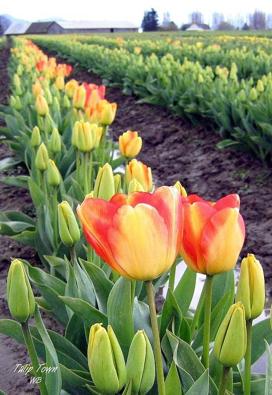 Agriculture Art Print featuring the photograph Tulip Town 6 by Will Borden