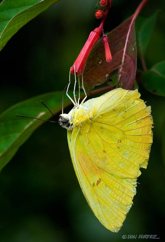 Butterfly Art Print featuring the photograph Yellow And Red by Don Durfee