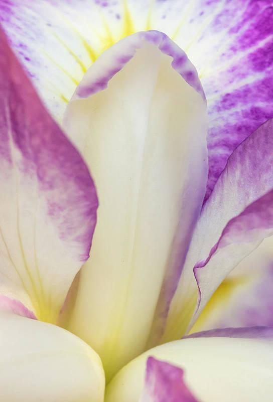 Bloom Art Print featuring the photograph Iris Bloom, Portland Japanese Garden by William Sutton