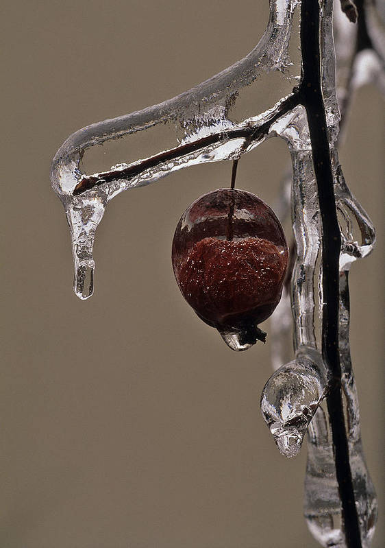 Ice Print featuring the photograph Nature's Candy Apple by Tony Beck