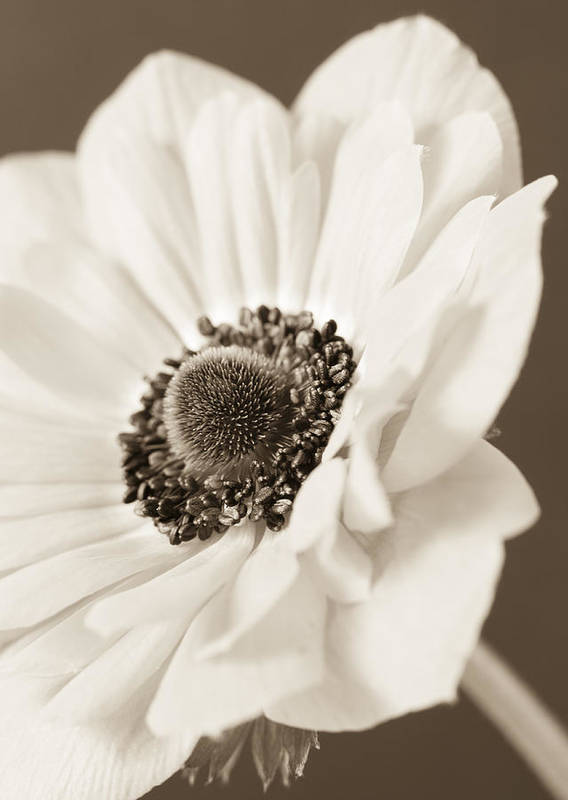 Anemone Art Print featuring the photograph A Focus On The Details by Caitlyn Grasso