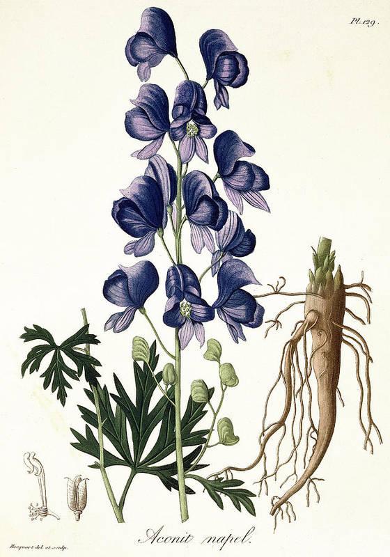 Floral Print featuring the painting Aconitum Napellus by LFJ Hoquart