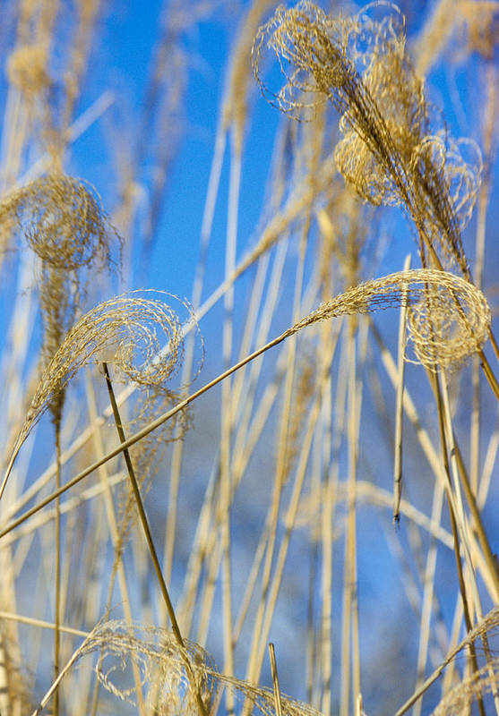 Growth; Fragility; Grass; Meadow; No People; Vertical; Outdoors; Day; Close-up; Focus On Foreground; Nature; Eulalia Grass Art Print featuring the photograph Eulalia Grass Native To East Asia by Anonymous