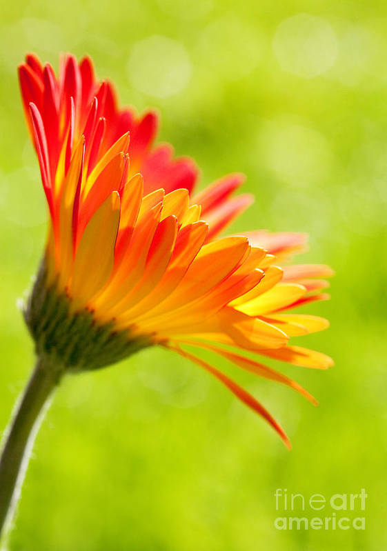 Flower Art Print featuring the photograph Flower In The Sunshine - Orange Green by Natalie Kinnear
