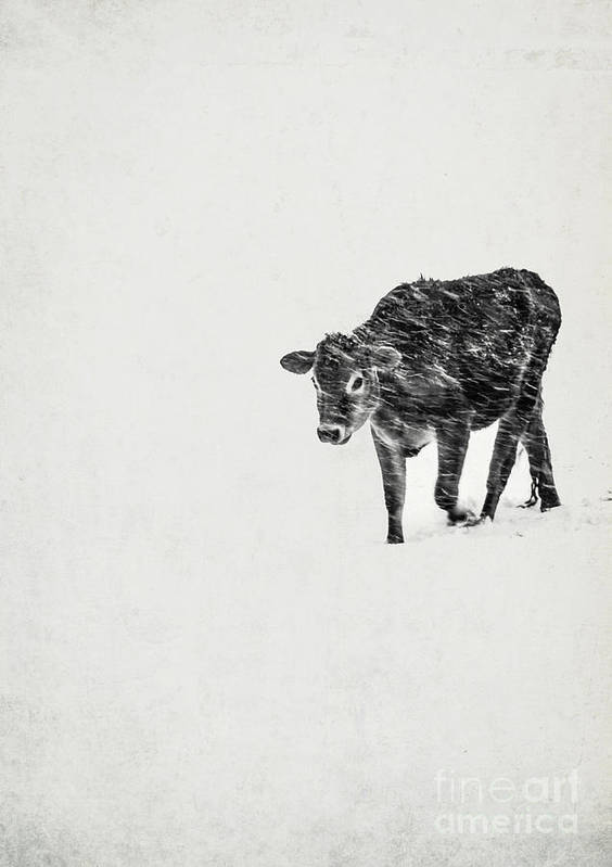 Vermont Art Print featuring the photograph Lost Calf Struggling In A Snow Storm by Edward Fielding