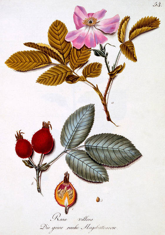 Otany Art Print featuring the painting Rosa Villosa by German School