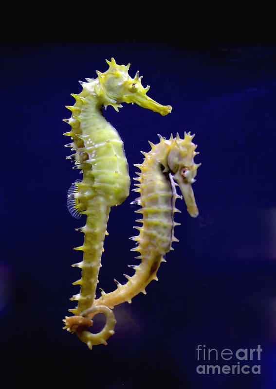 Sea Horse Print featuring the photograph Sea Horse by Boon Mee