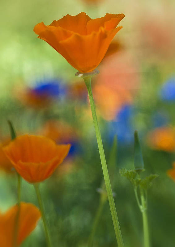Poppies Art Print featuring the photograph Spring Colors by Saija Lehtonen