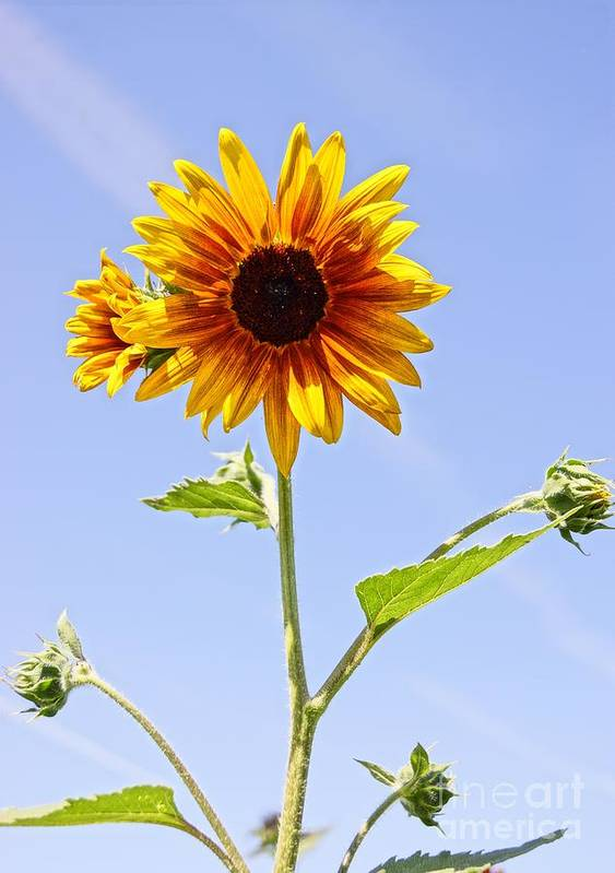 Agriculture Print featuring the photograph Sunflower In The Sky by Kerri Mortenson