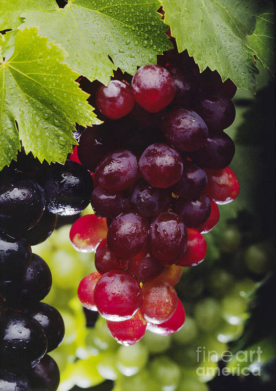 Fruit Print featuring the photograph Table Grapes Closeup by Craig Lovell