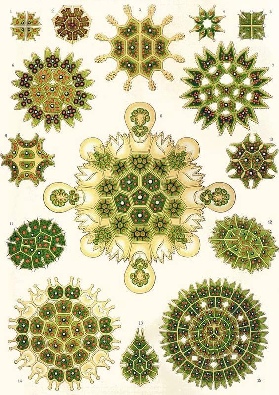 Vertical Art Print featuring the painting Varities Of Pediastrum From Kunstformen Der Natur by Ernst Haeckel