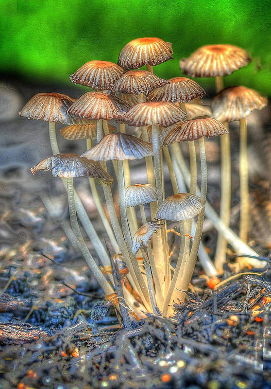 Magic Mushrooms Art Print By Don Fleming