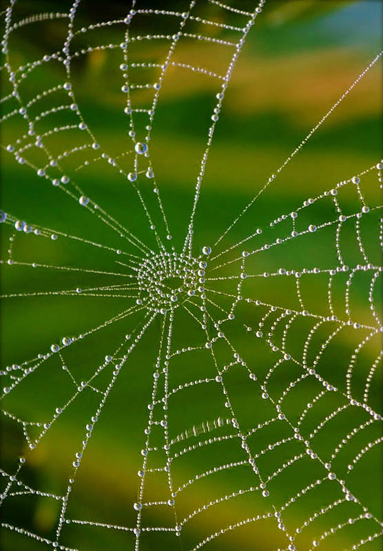 Close Up; Spiderweb; Dew; Drops; Plants; Garden; Morning; Early; Nature; Droplets; Reflection; Background; Autum; Art Print featuring the photograph Spiderweb With Dew Drops by Werner Lehmann