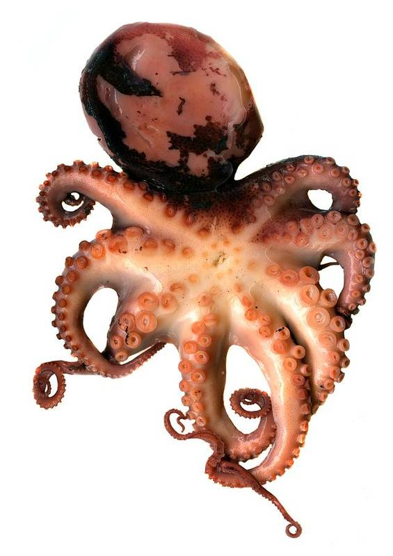 Animal Art Print featuring the photograph Octopus by Victor Habbick Visions