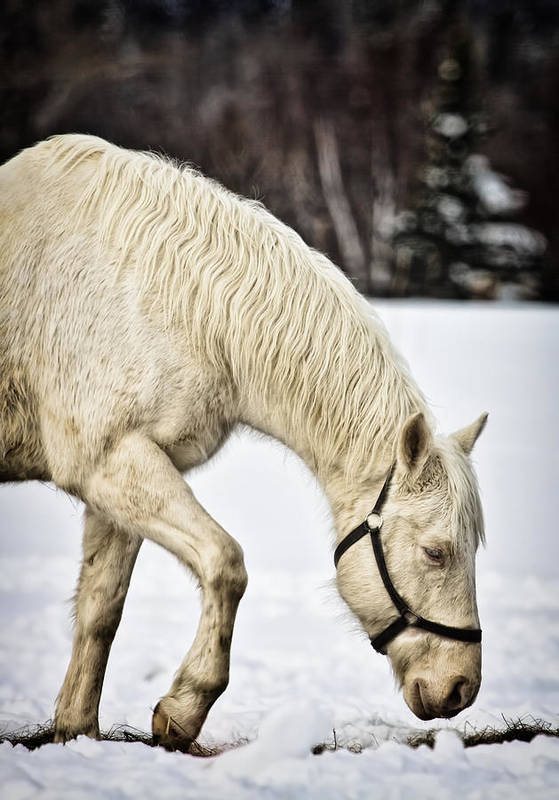 Horse Art Print featuring the photograph A Walk In The Snow by Gary Smith
