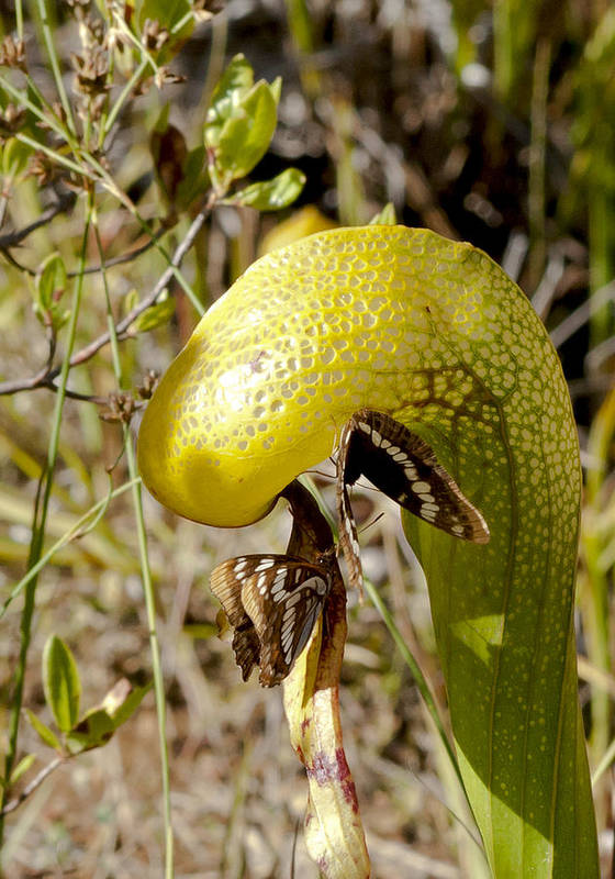 Darlingtonia Art Print featuring the photograph Butterflys And Darlingtonia by Betty Depee
