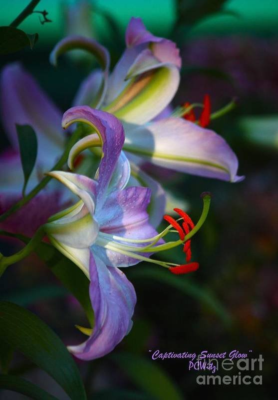 Lily Art Print featuring the photograph Captivating Sunset Glow by Patrick Witz