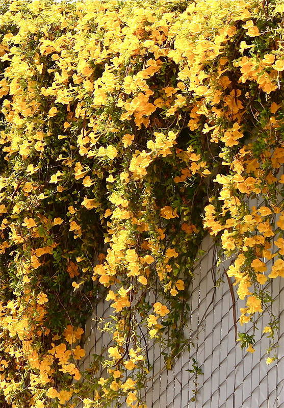 Floral Art Print featuring the photograph Cat's Claws Vine by Kume Bryant