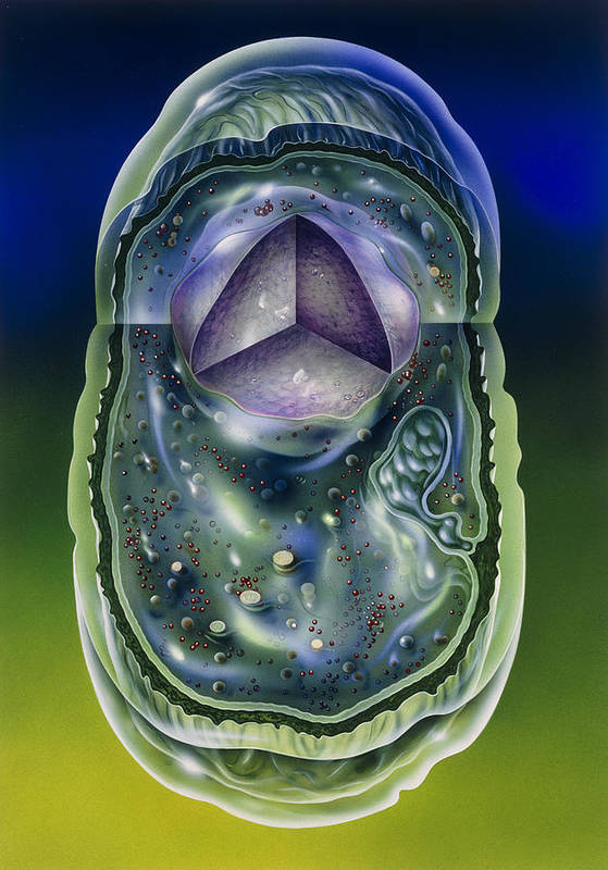 Microbiology Art Print featuring the photograph Illustration Of Structures Of A Typical B by John Bavosi
