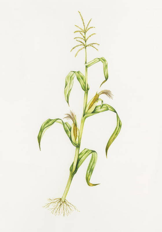 Zea Mays Art Print featuring the photograph Maize (zea Mays) by Lizzie Harper