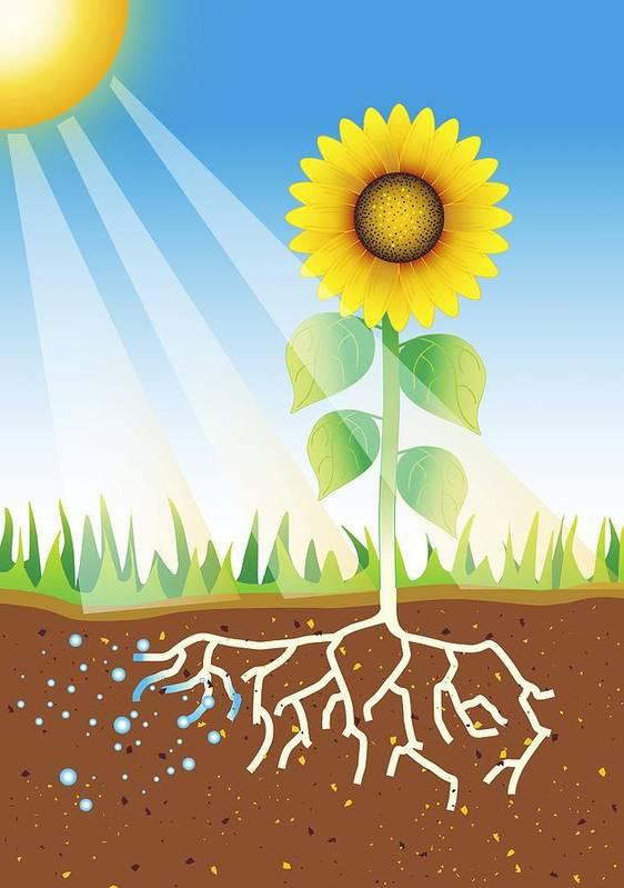 Sunflower Art Print featuring the photograph Photosynthesis, Artwork by David Nicholls