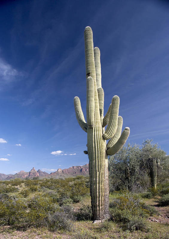 Carnegiea Gigantea Art Print featuring the photograph Saguaro Cactus (carnegiea Gigantea) by Bob Gibbons