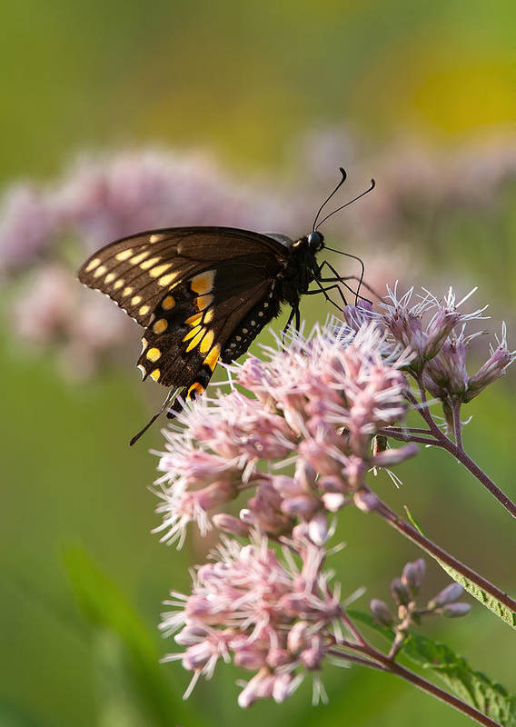 Butterfly Art Print featuring the photograph Victuals by Dale Kincaid