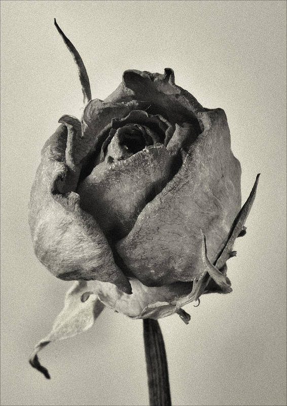 Dried Floral Still Life Art Print featuring the photograph Dried Rose by Robert Ullmann