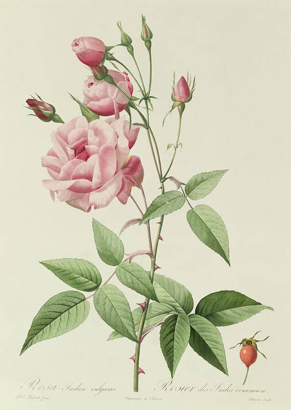 Rosa Art Print featuring the drawing Rosa Indica Vulgaris by Pierre Joseph Redoute