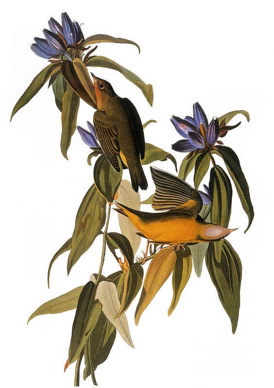 1827 Print featuring the photograph Audubon: Warbler, (1827-38) by Granger