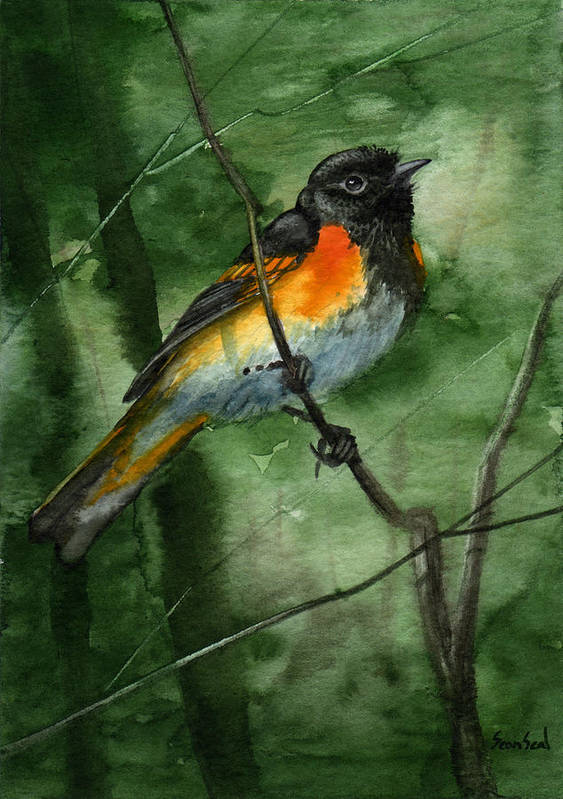 Birds Art Print featuring the painting American Redstart by Sean Seal