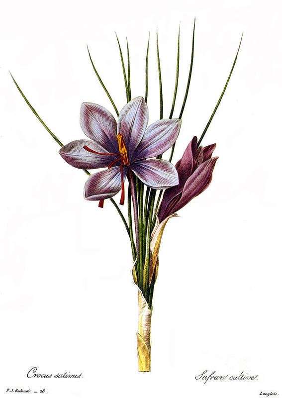 1833 Art Print featuring the photograph Botany: Saffron by Granger