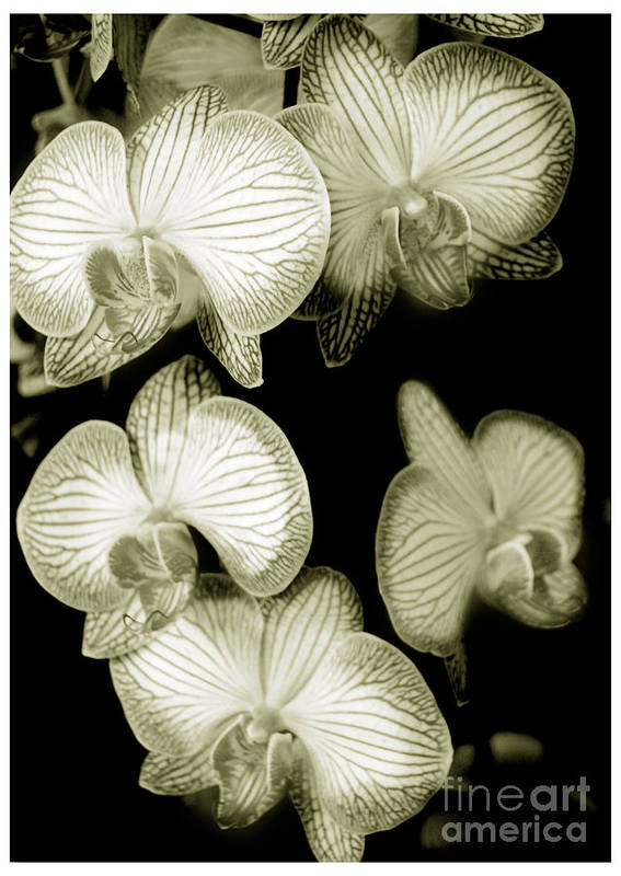Nature Art Print featuring the photograph Butterfly-orchids by Son Of the Moon