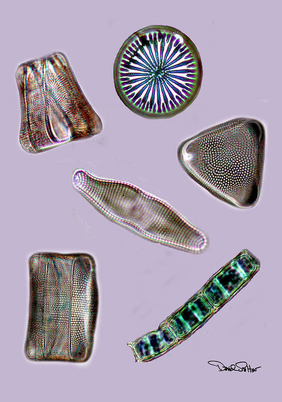 Diatom Art Print featuring the photograph Diatoms by David Salter