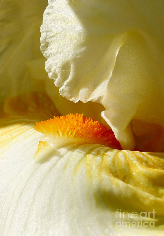 Iris Art Print featuring the photograph Iris With Touch Of Orange by Steve Augustin